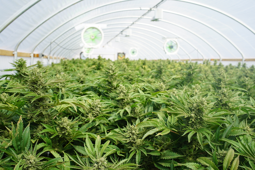 top view of large commercial marijuana grow with high yield strains