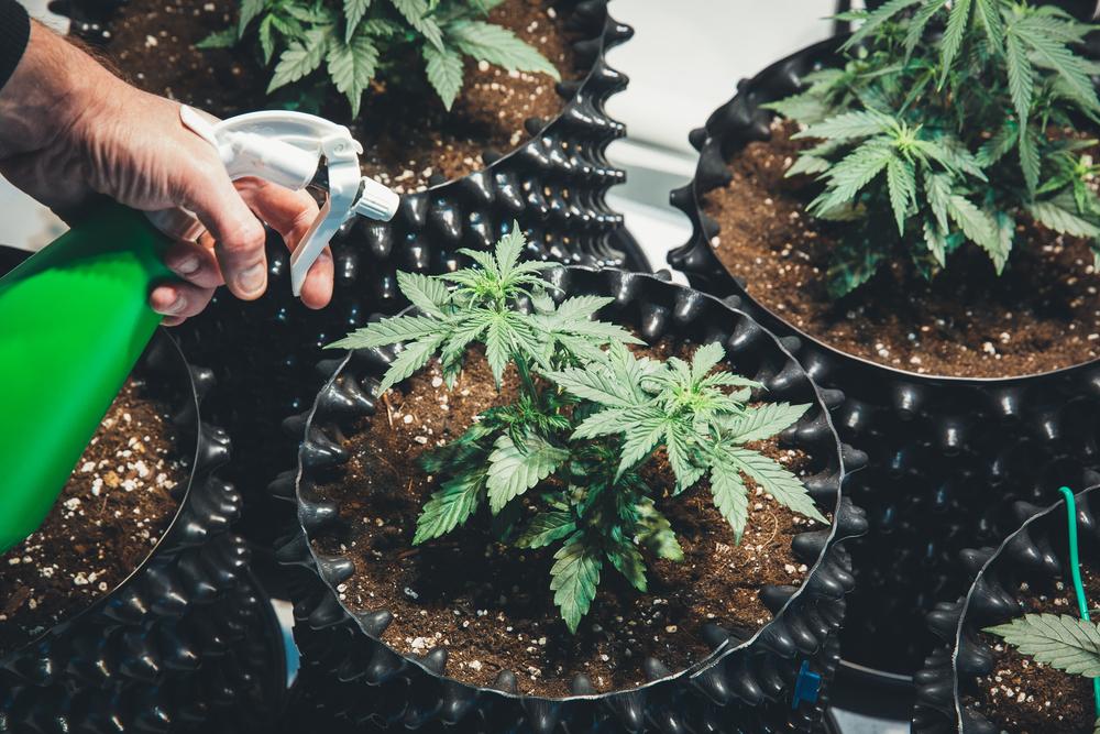 marijuana plants growing