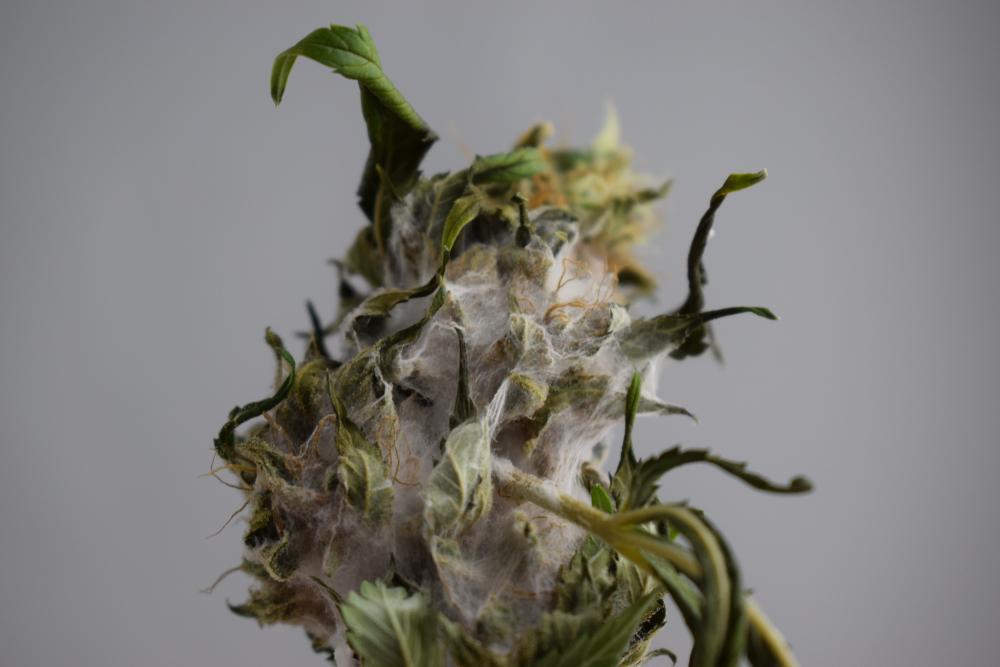 old moldy marijuana flower