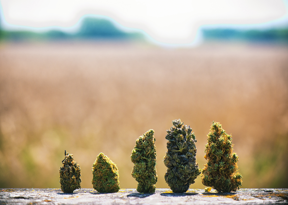 variety weed strain buds