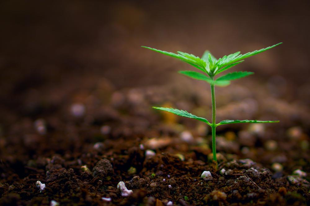 baby marijuana plant sprouting