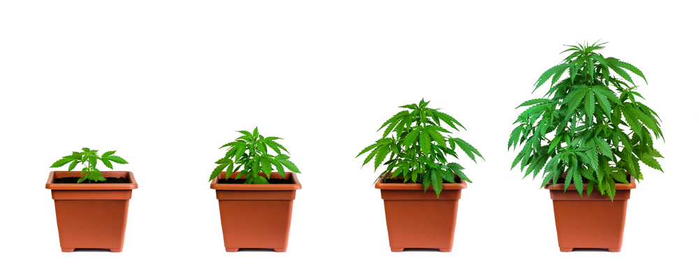 cannabis plant lifecycle stages of growing