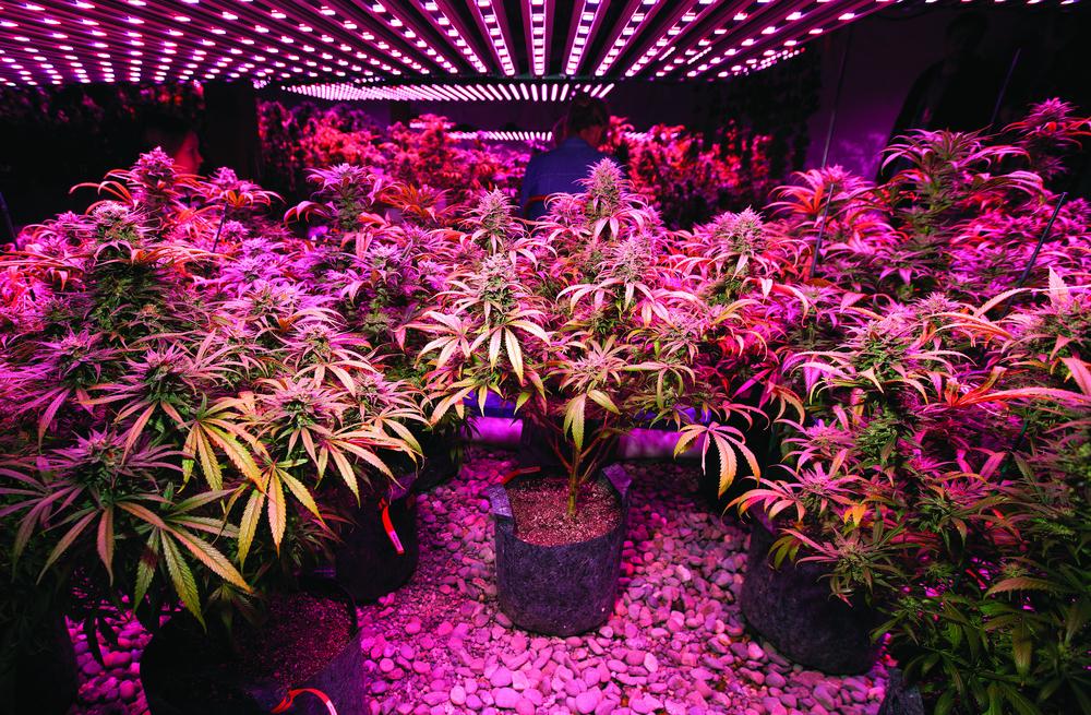 indoor cannabis growing room pink lighting